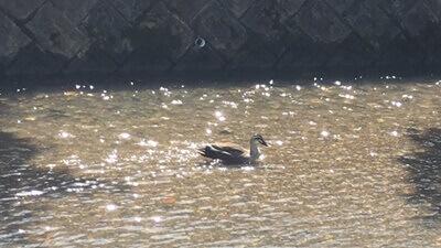 岩倉川に浮かんでいた鴨(たぶん)。のんびりした風景です。